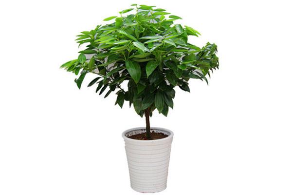 平安树可以淋雨吗 平安树淋雨能淋雨吗