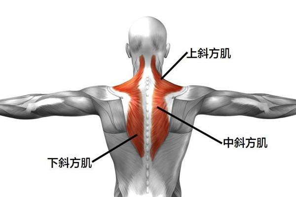 斜方肌的作用 斜方肌有什么作用