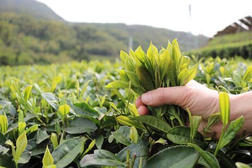 福鼎白茶用多少度的水 福鼎白茶可以多次冲泡吗