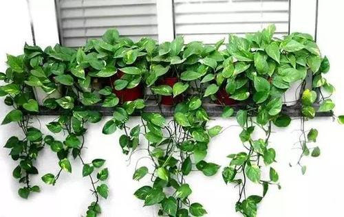 绿萝多久浇一次水 绿萝的施肥方法