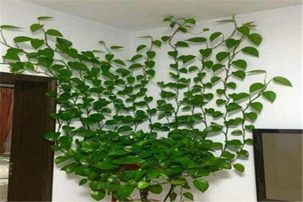 绿萝适合什么肥料 绿萝病虫害如何防止