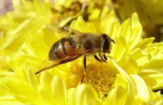 黄蜂泡酒怎么制作 黄蜂泡酒的功效