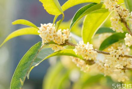 桂花籽能吃吗 桂花籽的作用与功效