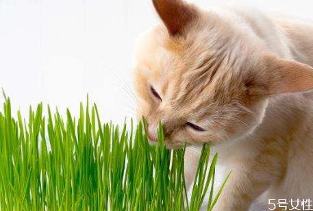 猫草怎么种 猫草多大可以吃