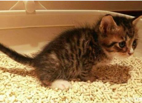劣质猫砂对猫的危害 便宜好用的猫砂推荐