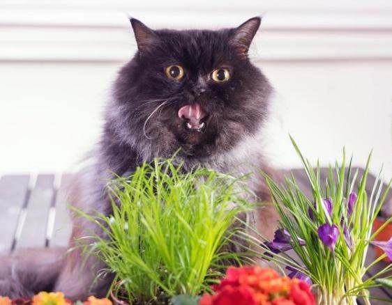 猫咪能吃猫薄荷吗 猫多大能吃猫薄荷