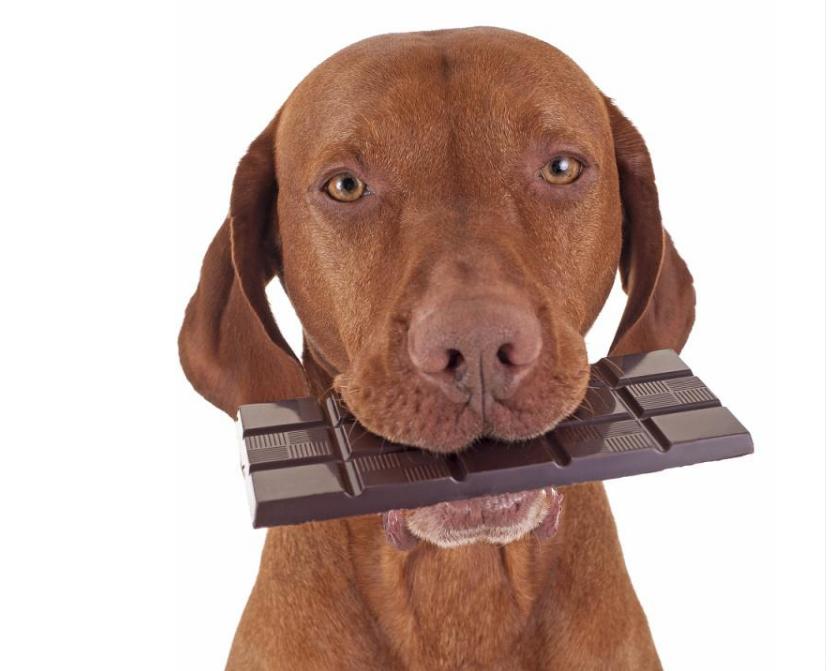 狗狗能吃巧克力吗 狗吃巧克力怎么补救