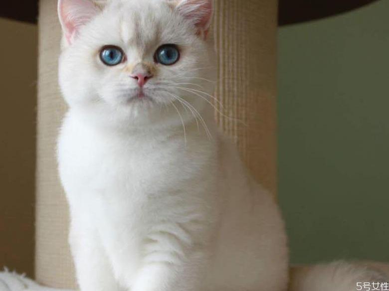 英短猫多少钱一只 英短什么毛色最贵