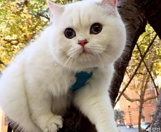 怎样挑选英短 英短蓝猫母猫好还是公猫好