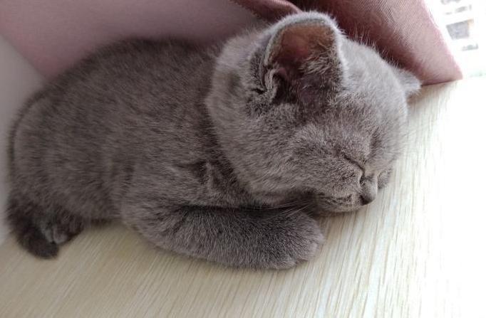 小猫掉毛一块一块的掉 怎么判断是不是猫藓