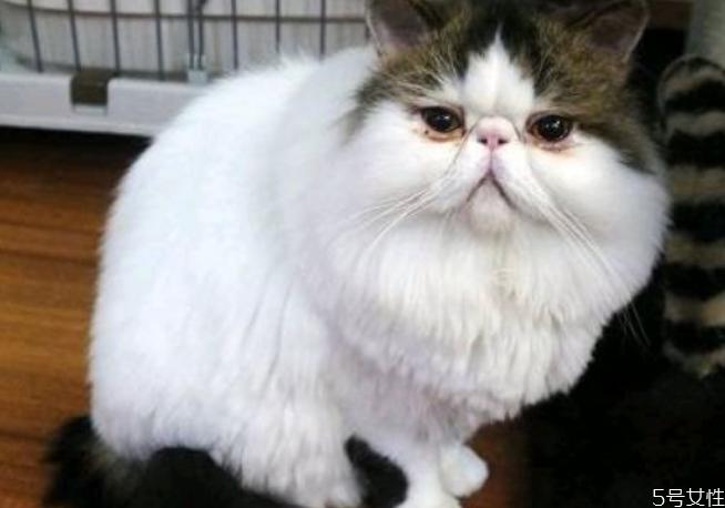 猫眼屎要每天清理吗 猫怎么清理眼屎