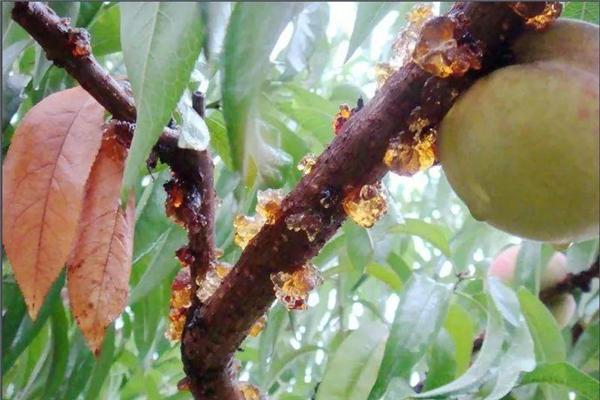 桃胶什么季节吃比较好 桃胶早上吃还是晚上吃