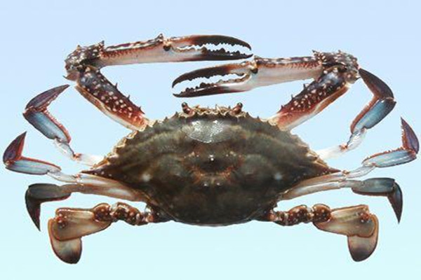 梭子蟹的嘌呤含量高吗 梭子蟹痛风可以吃吗